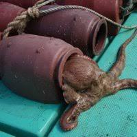 たこつぼを海に投下したとします。1個のたこつぼでもタコが入る可能性 ...